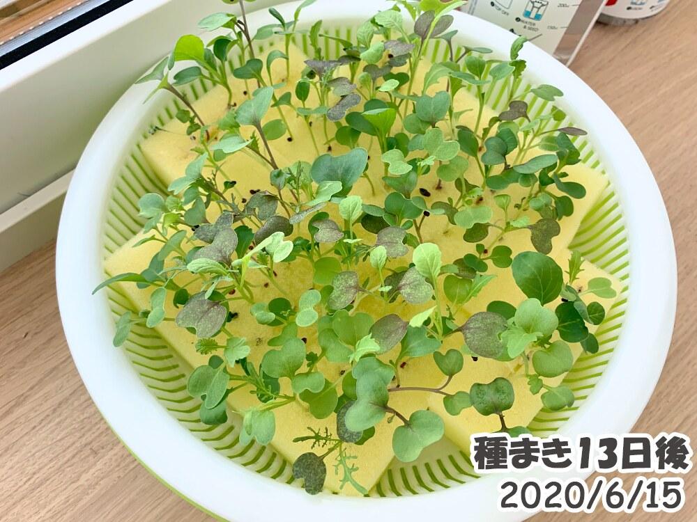 ベビーリーフの室内水耕栽培_種まき13日後