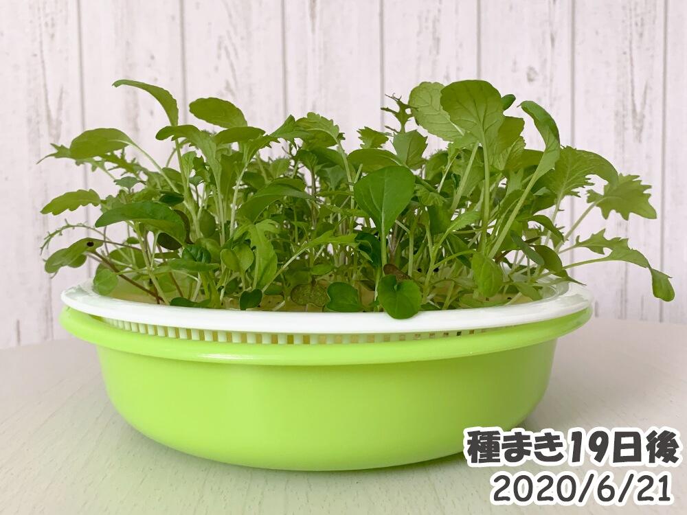 ベビーリーフの室内水耕栽培_種まき19日後