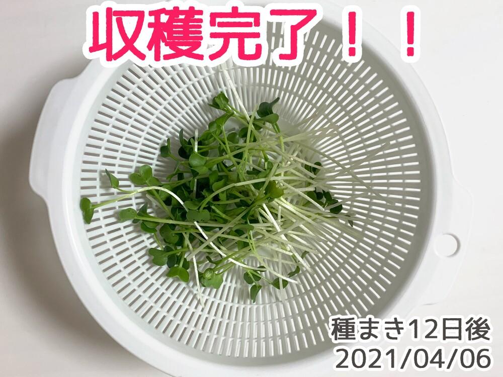 カイワレ大根水耕栽培日記_種まき12日目_収穫!